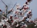 Marillenblüte 1