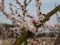 Marillenblüte 3